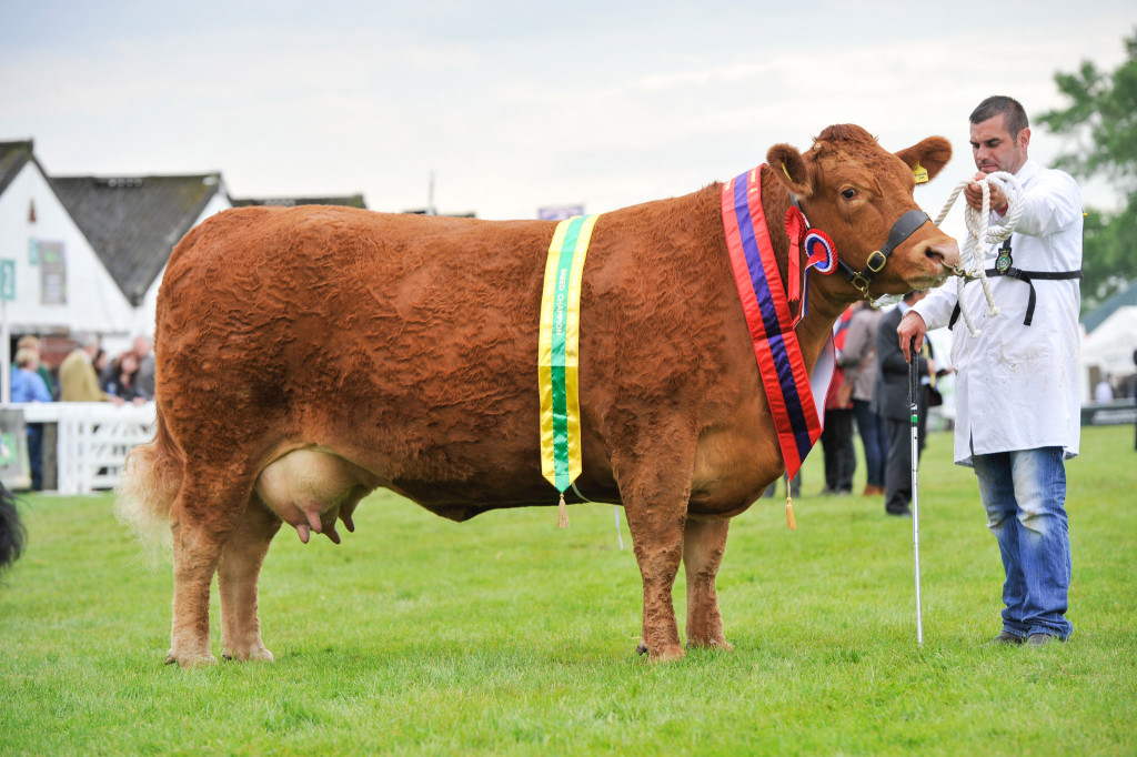 Champion South Devon Trevassack Mayflower.